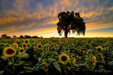 Sacramento Valley Sunflowers