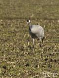 2307 Common Crane