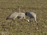 2312 Common Crane