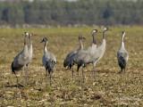 2344 Common Crane