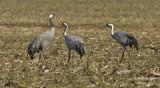 2354 Common Crane