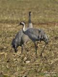2363 Common Crane