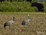 2372 Common Crane