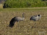 2392 Common Crane