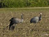 2396 Common Crane