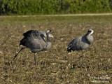2401 Common Crane