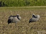 2407 Common Crane
