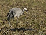 2413 Common Crane