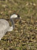 2415 Common Crane