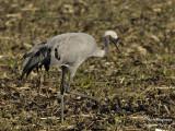 2426 Common Crane