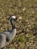 2433 Common Crane