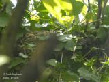 2492-Common Blackbird - nest-site
