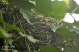 2501-Common Blackbird - nest-site