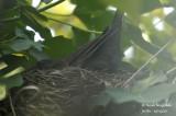 2587-nest building