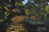 2634-female at nest