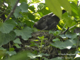 2832-She looks at the chicks inside the nest