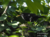 Common Blackbird (Turdus merula): nesting period in the garden