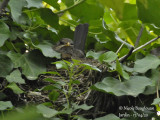 2947-Incubating female arranging the nest
