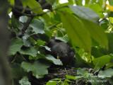 3161-Female feeding the chicks