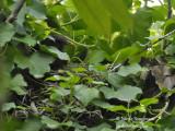 3241-female-at-nest