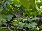 3309-female-at-nest