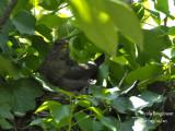 3401-female on the nest