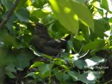 3403-female on the nest