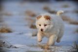White male pomsky puppy