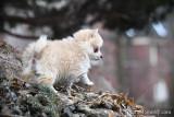 World's smallest Pomsky puppies