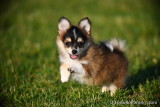 Female Pomsky Chewey