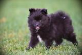 Black female Pomsky puppy