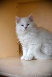 Blue eyed male Ragdoll kitten