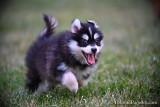 New small Pomsky pups