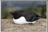 PETIT PINGOUIN   /   RASORBILL    _HP_7439