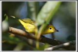 PARULINE JAUNE / YELLOW WARBLER -  Time to lunch   _HP_4491_a_a