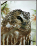 PETITE NYCTALE    /    NORTHERN SAW-WHET OWL    _HP_9653_b_b