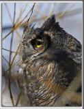GRAND-DUC D'AMÉRIQUE    /   GREAT HORNED OWL    _HP_2414