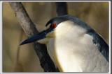 BIHOREAU GRIS, mâle   /   BLACK-CROWNED NIGHT-HERON, male   _HP_6048