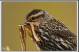 CAROUGE À ÉPAULETTES, femelle  /    RED-WINGED BLACKBIRD, female     _HP_6575