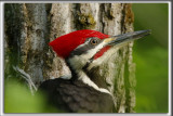 GRAND-PIC   /   PILEATED WOODPECKER    _HP_0091