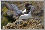 PETIT PINGOUIN et Guillemot Marmette    /    RAZORBILL and common murre   _HP_2782