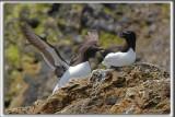 PETIT PINGOUIN et Guillemot Marmette    /    RAZORBILL and common murre   _HP_2781