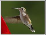 COLIBRI À GORGE RUBIS, femelle    /   RUBY-THROATED HUMMINGBIRD, female    _HP_4018