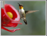 COLIBRI À GORGE RUBIS, mâle    /   RUBY-THROATED HUMMINGBIRD, male    _HP_4033