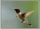 COLIBRI À GORGE RUBIS, mâle    /   RUBY-THROATED HUMMINGBIRD, male    _HP_4253