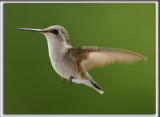 COLIBRI À GORGE RUBIS, femelle    /   RUBY-THROATED HUMMINGBIRD, female    _HP_4342
