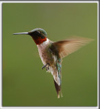 COLIBRI À GORGE RUBIS, mâle    /   RUBY-THROATED HUMMINGBIRD, male    _HP_4464