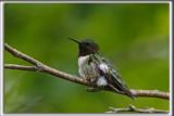 COLIBRI À GORGE RUBIS, mâle    /   RUBY-THROATED HUMMINGBIRD, male    _HP_4490