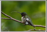 COLIBRI À GORGE RUBIS, mâle    /   RUBY-THROATED HUMMINGBIRD, male    _HP_4507