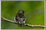 COLIBRI À GORGE RUBIS, mâle    /   RUBY-THROATED HUMMINGBIRD, male    _HP_4523